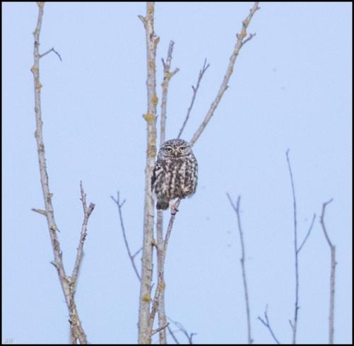 Little Owl 230519