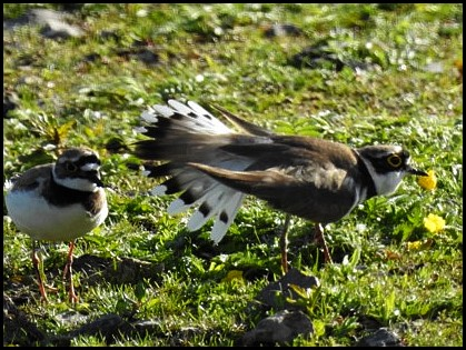 Little Ringed Plovers 140519