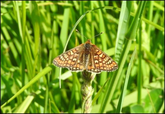 Marsh Fritillary 240519 1