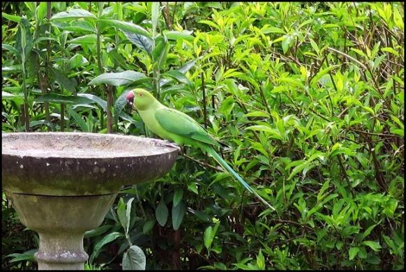 Ring-necked Parakeet 100519