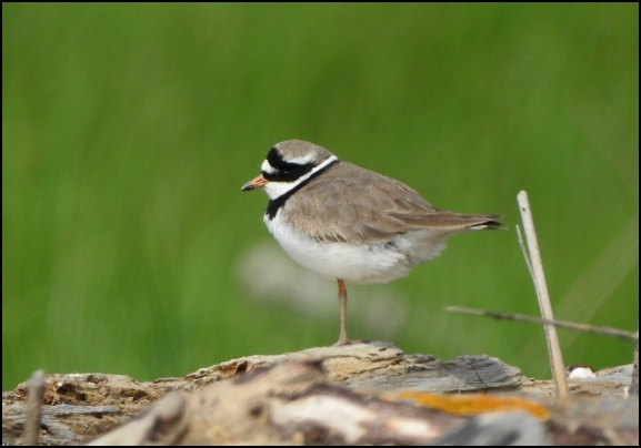 Ringed Plover 220519