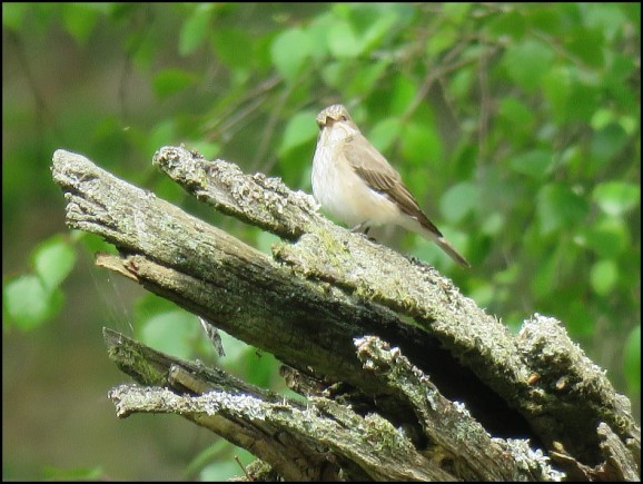 Spotted Flycatcher 070519