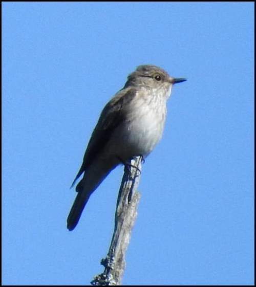 Spotted Flycatcher 250519