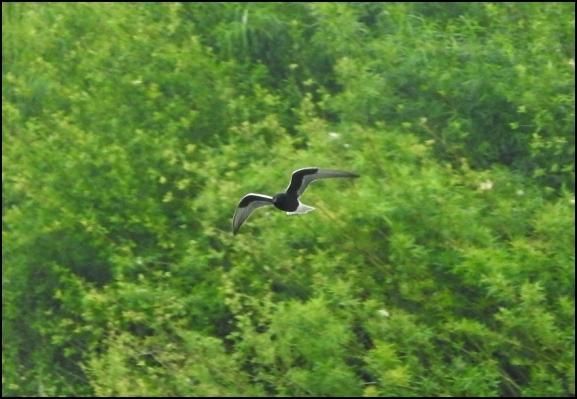 White-winged Black Tern 190519 1