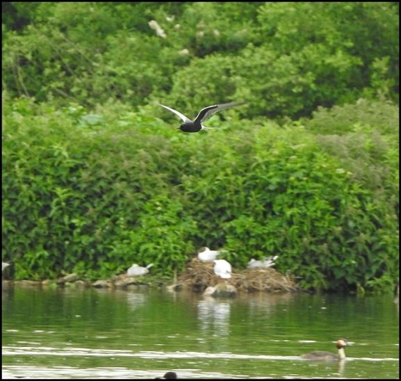 White-winged Black Tern 190519 2