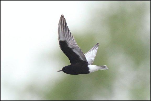 White-winged Black Tern 190519 3