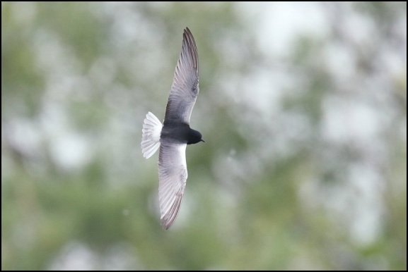 White-winged Black Tern 190519 4