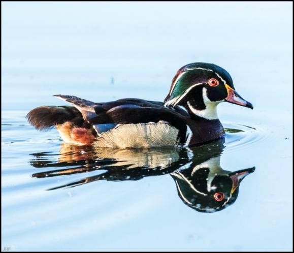 Wood Duck 120519