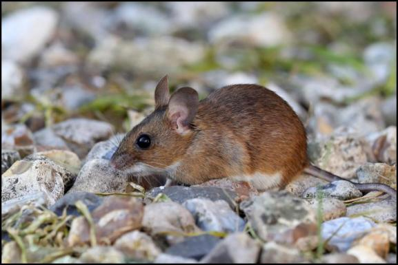 Wood Mouse 130519