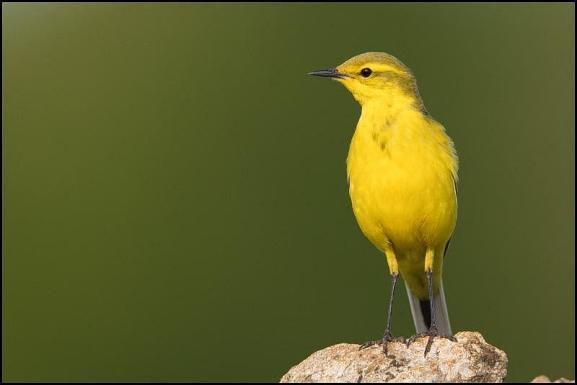 Yellow Wagtail 220519