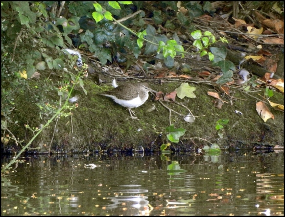 Common Sandpiper 300619