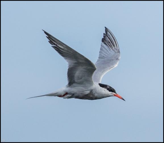 Common Tern 010619