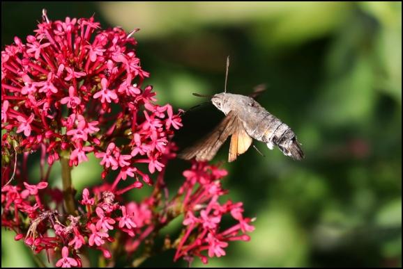 Hummingbird Hawk-moth 270619.jpg