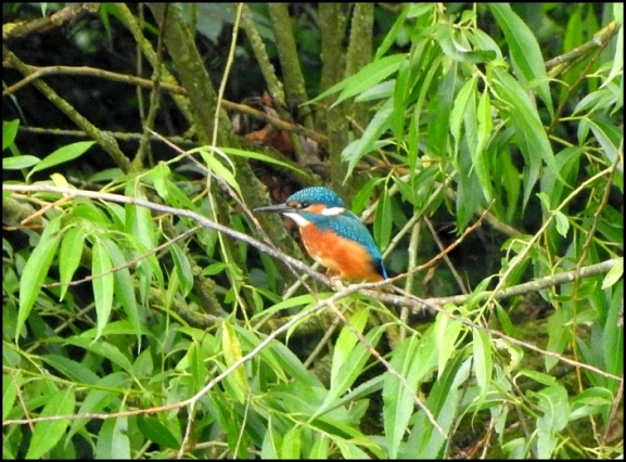 Kingfisher 300619.jpg