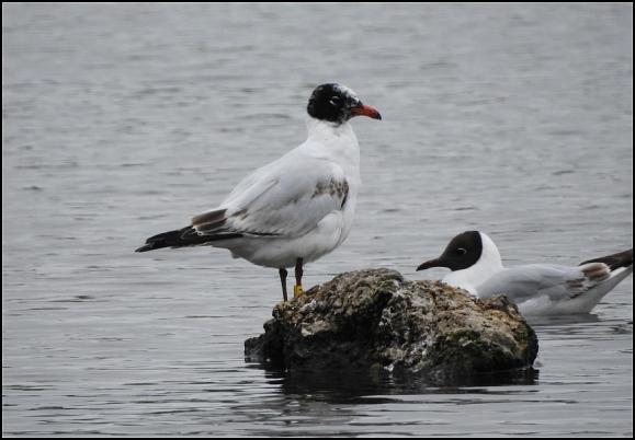 Mediterranean Gull 260619