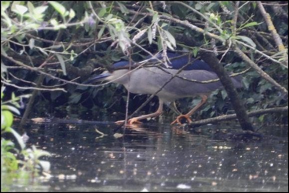 Night Heron 300619 1
