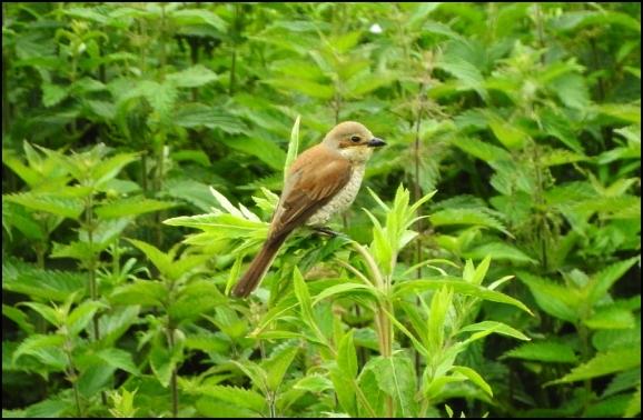 Red-backed Shrike 260619 2