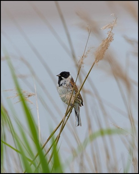 Reed Bunting 100619