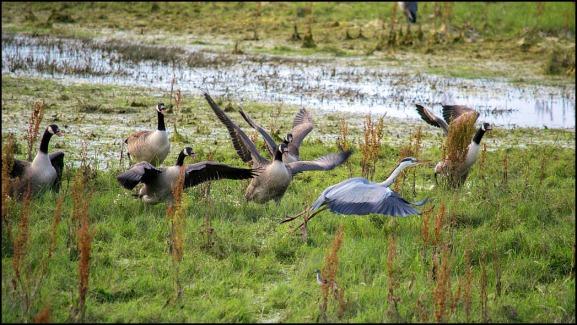 Canada Geese & Grey Heron 020719