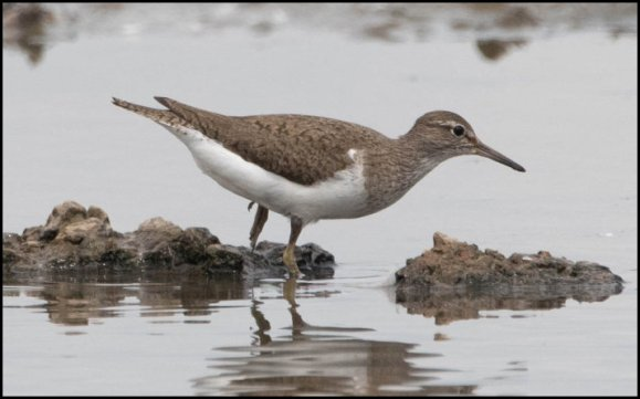 Common Sandpiper 170719