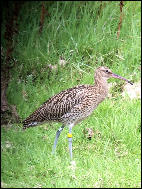 Curlew juv 100719