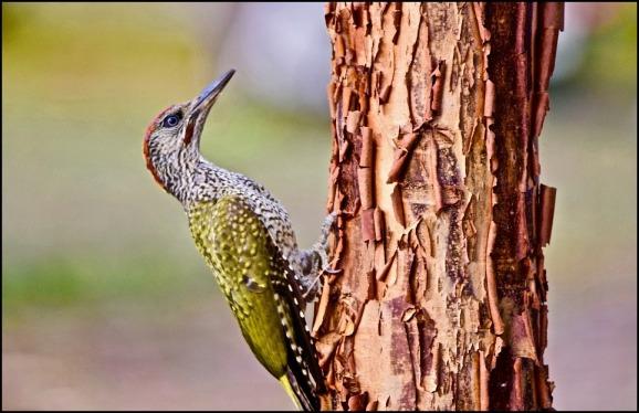 Green Woodpecker 160719 2.jpg