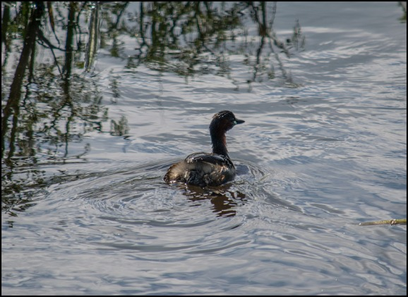 Little Grebe 020719
