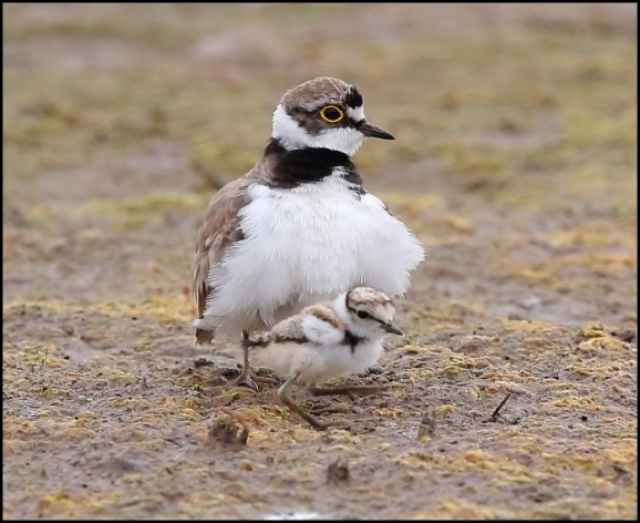 Little Ringed Plovers 210719 1