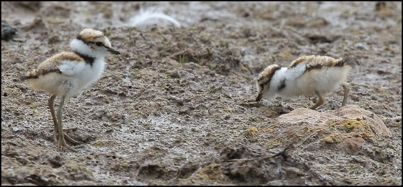 Little Ringed Plovers 210719 2