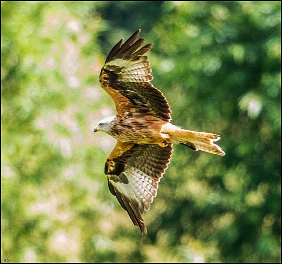 Red Kite 160719 2