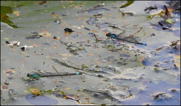 Small Red-eyed Damselflies 250719