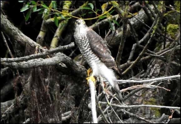 Sparrowhawk 220719