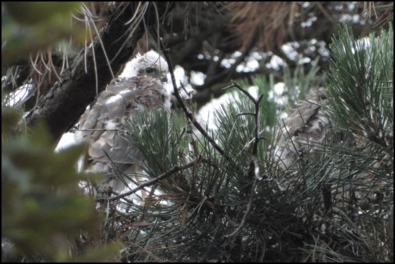Sparrowhawk juv 090719