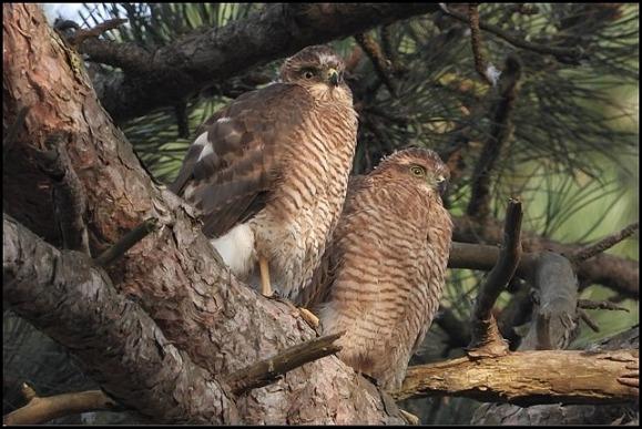 Sparrowhawks 170719