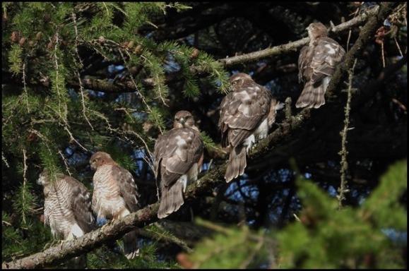 Sparrowhawks 200719
