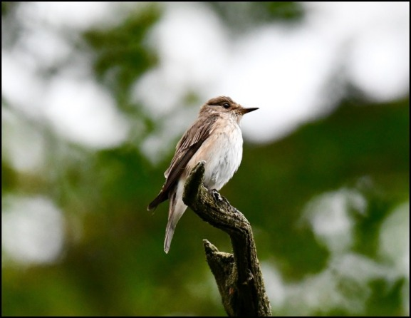 Spotted Flycatcher 110719