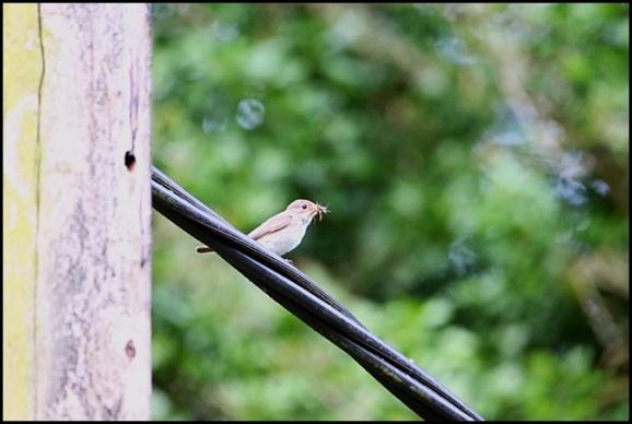 Spotted Flycatcher 180719