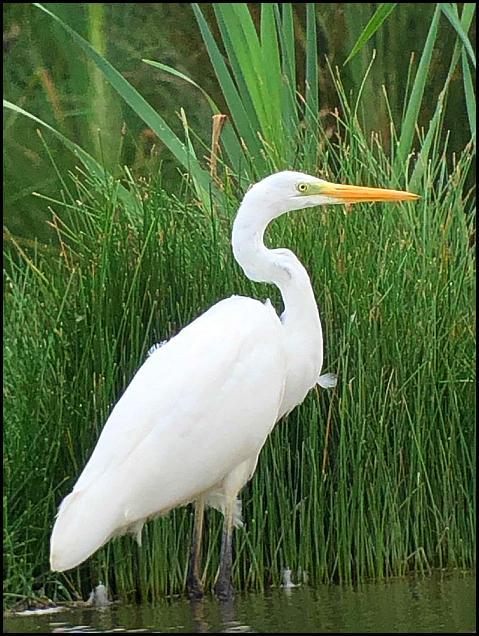Great White Egret 180819