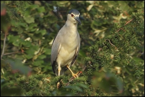 Night Heron 020819 1