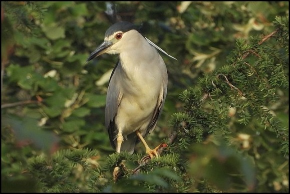 Night Heron 020819 2