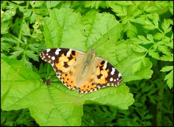 Painted Lady 130819