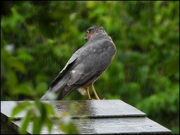 Sparrowhawk 100819