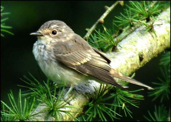 Spotted Flycatcher 190819
