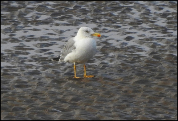 Yellow-legged Gull 260819
