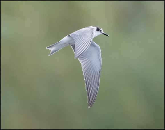 Black Tern 260919