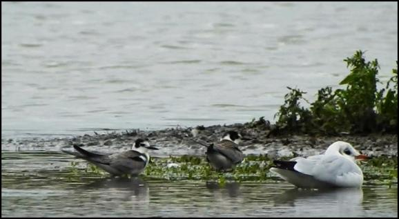 Black Terns 300919