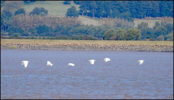 Great White Egrets 210919