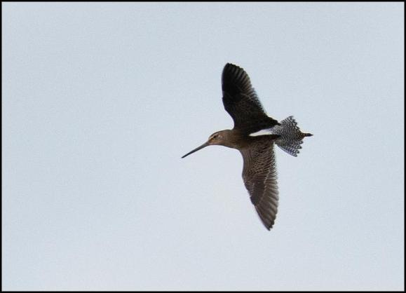 Long-billed Dowitcher 2 260919