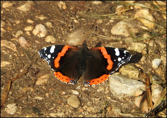 Red Admiral 240919