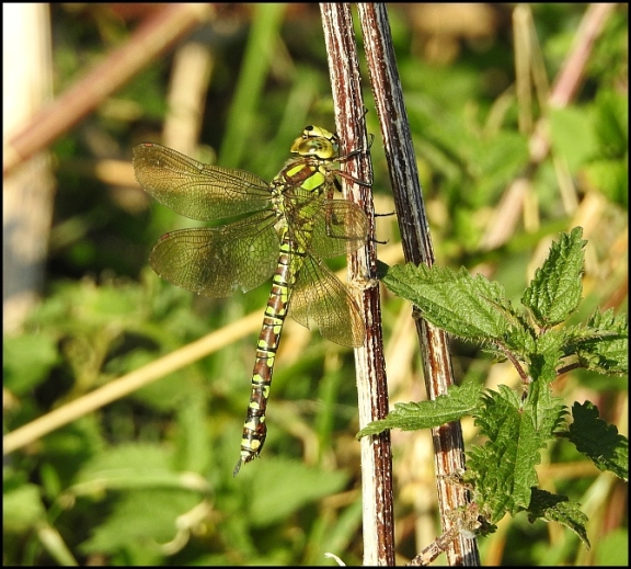 Southern Hawker 190919